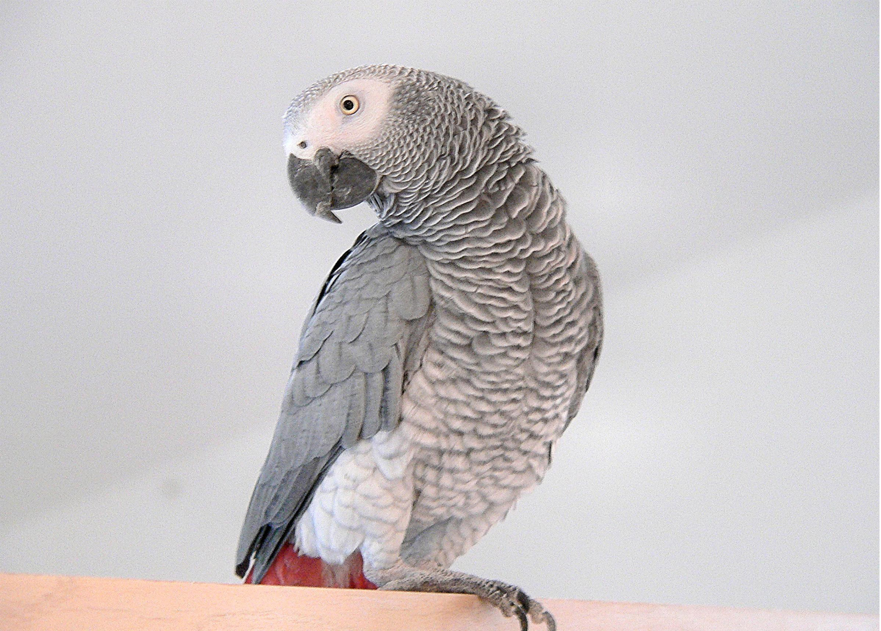 african grey parrot - photo #11